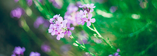 Purple flowers with green blured background